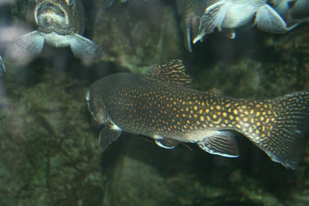 Forellen Fisch schwimmt im Schwarm von hinten fotografiert