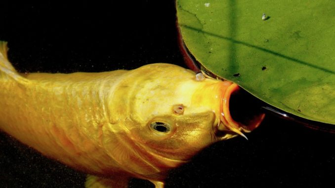 Die Maulform ist wichtig für die Nahrungsaufnahme von Fischen