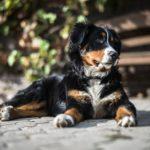 Berner-Sennenhund