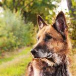 Deutscher-Schaeferhund