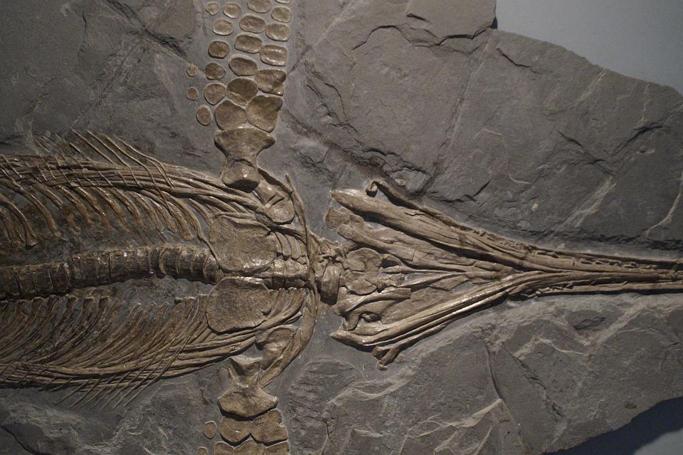Ichthyosaurus-skelett