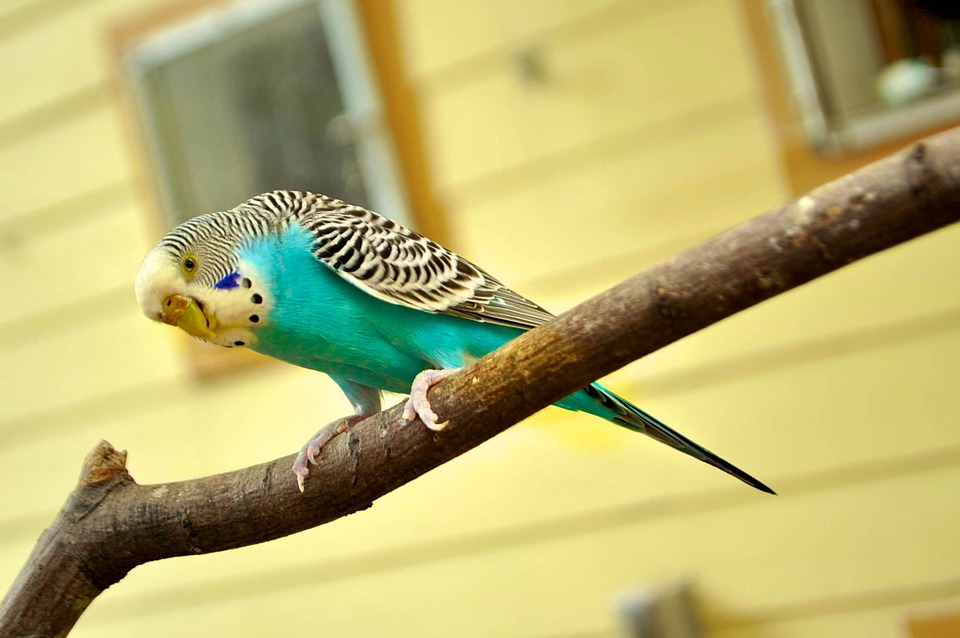Kanarienvogel