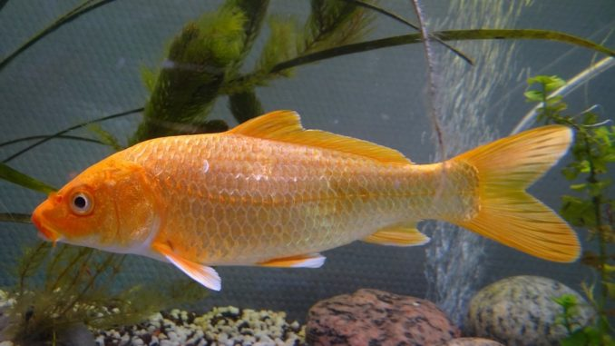 Fischart: Karpfen