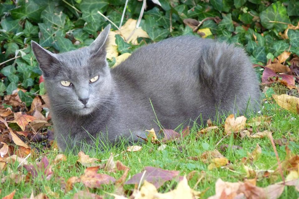 Korat-katze liegt im Garten und sieht gluecklich aus