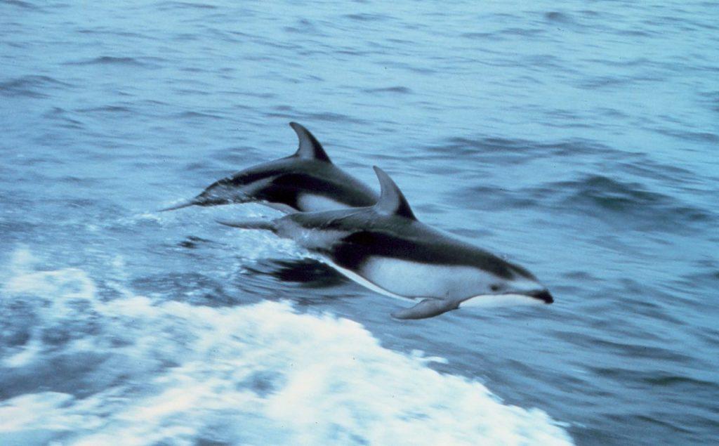 Lagenorhynchus
