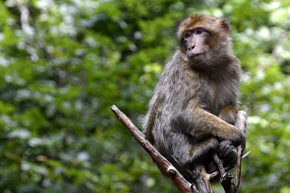 affe-primat