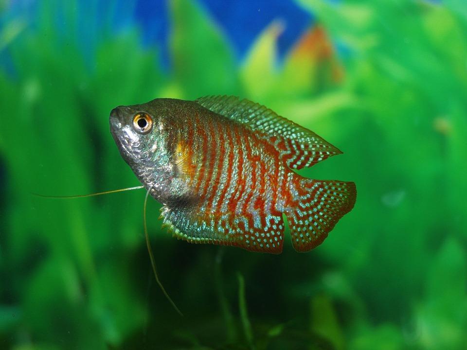 fadenfisch-labyrinthfisch