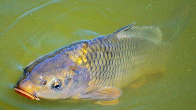 Schuppen der fische tiere for Teichfische bilder