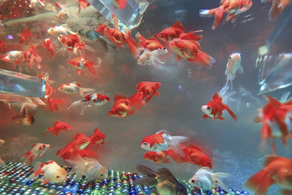 Fische haltung und pflege tiere for Zierfische teich