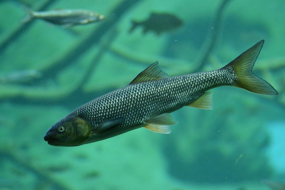 Forellen Fisch im Wasser am schwimmen