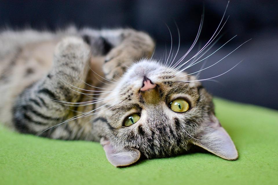 katzengesundheit katze gesund halten pflege und tipps. Black Bedroom Furniture Sets. Home Design Ideas