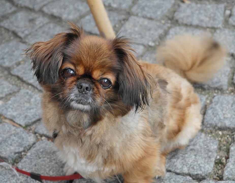 pekinese hund schaut in die Kamera