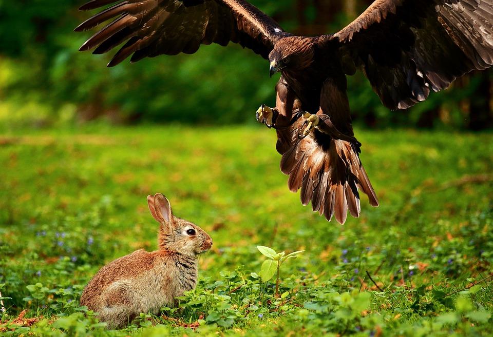 Raubvogel ergreift einen Hasen