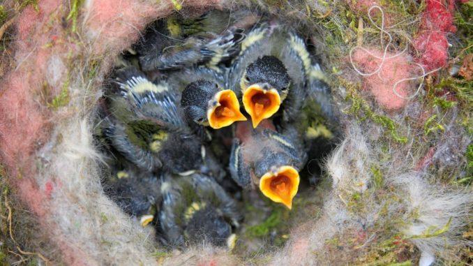 vogel-fortpflanzung-babys