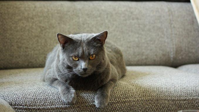Chartreux-auf-couch-katze