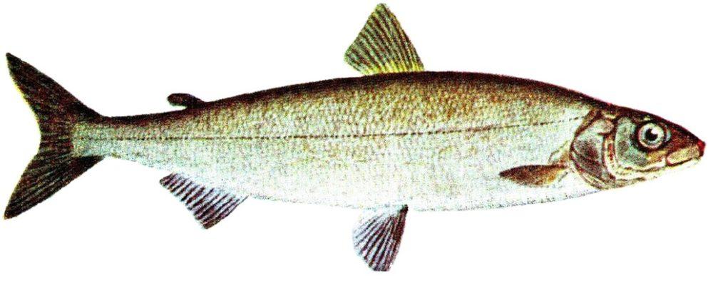 Fischart: Coregonus