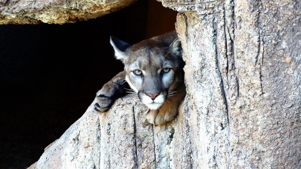 Katzenfoto: Puma großkatze schaut aus Höhle