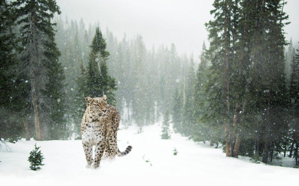 Katzenfoto: Großkatze, der Leopard im Schnee
