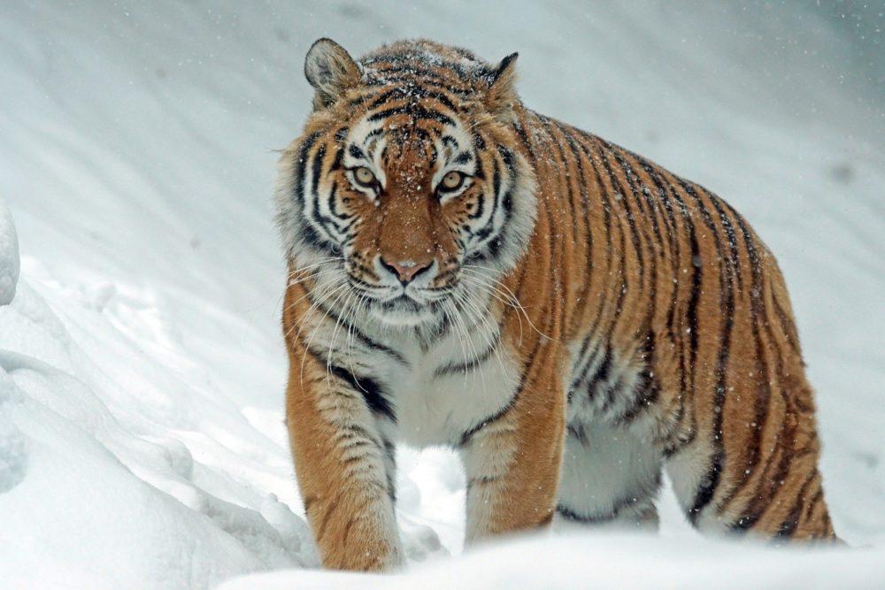 Katzenfoto: Tiger im Schnee.