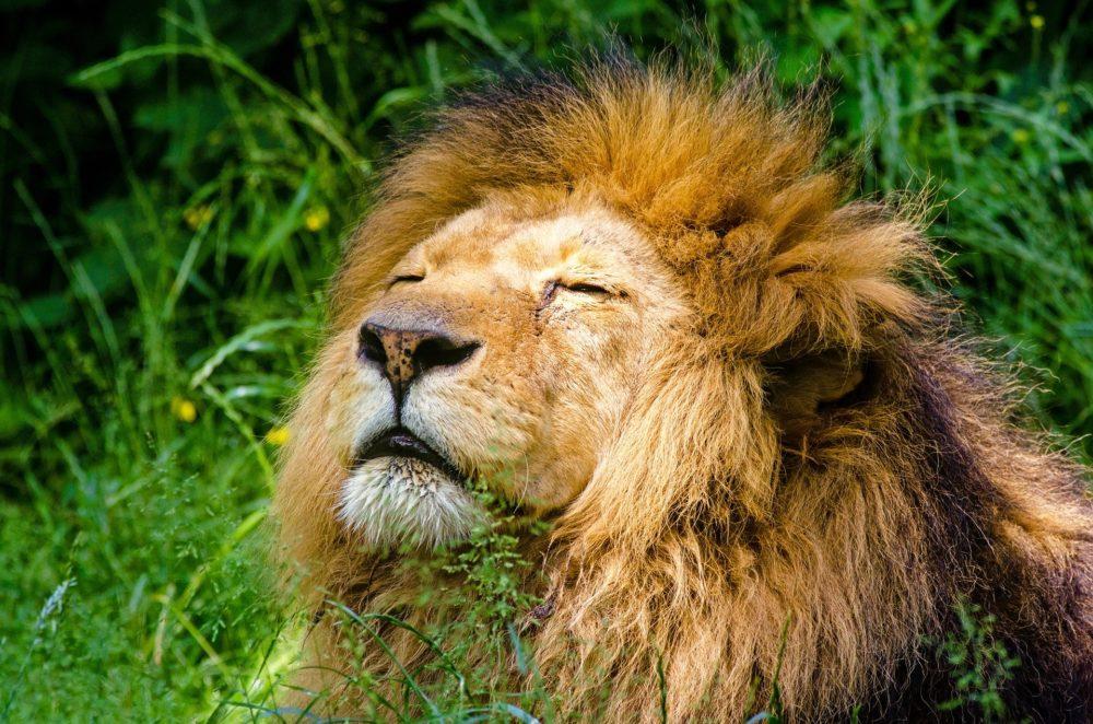 Katzenfoto: Löwe in der Sonne