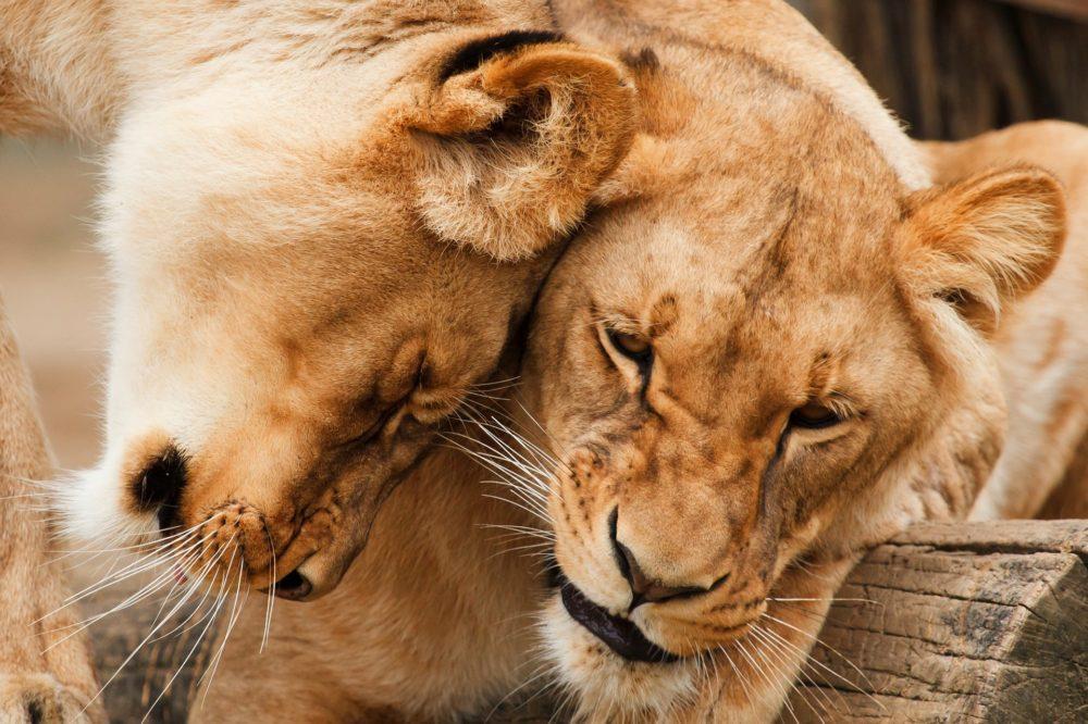 Katzenfoto: Zwei Löwen kuscheln