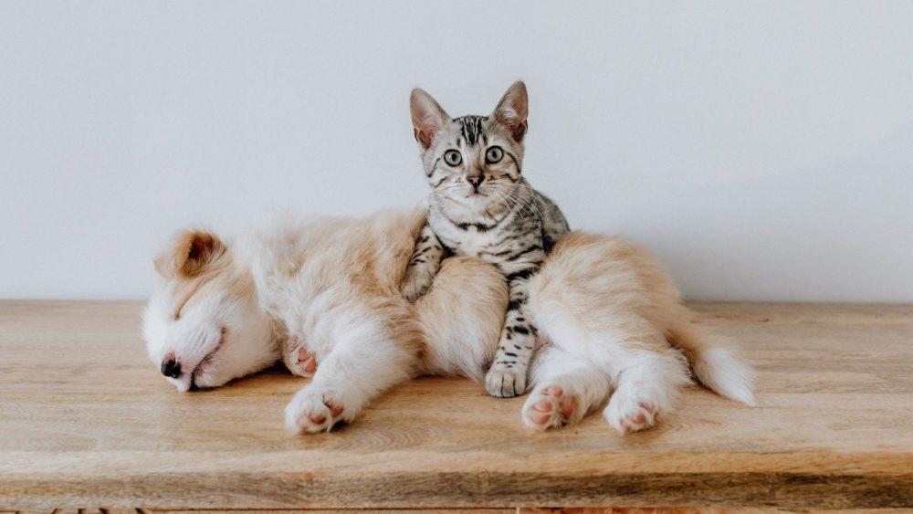 Katzenbild: Katze massiert Hundewelpen