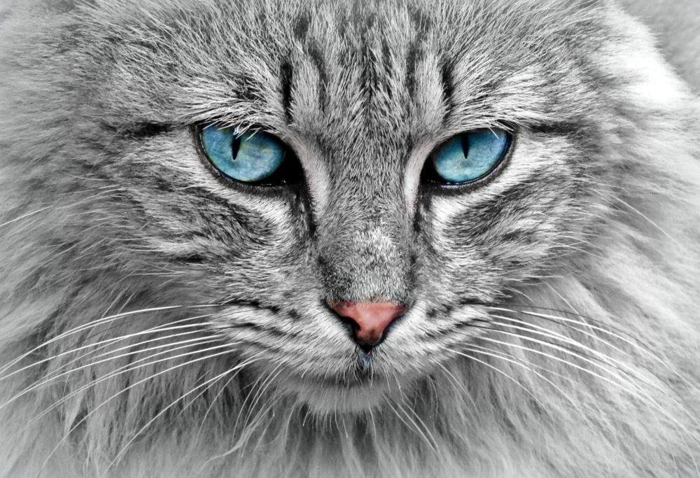 Katzenfoto: Graue Katze mit blauen Augen