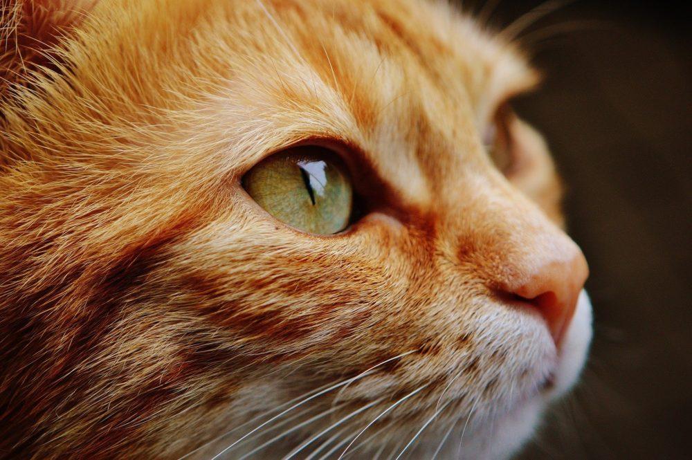 Katzenfoto: Orangefarbene Katze mit schönen Augen