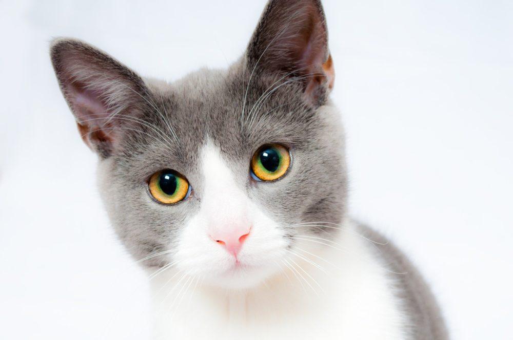 Katzenfoto: Der wunderschöne Blick einer Hauskatze