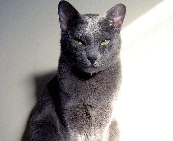 Korat Katze posiert fuer Foto