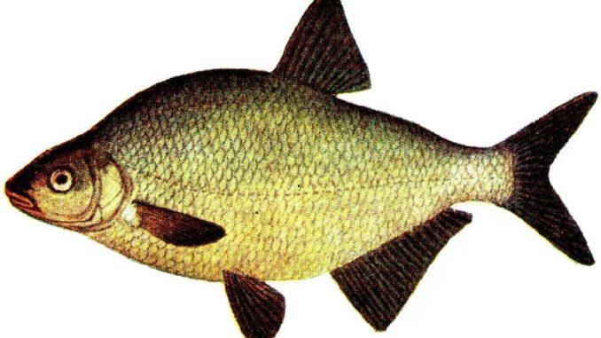 Fischart : Brasse