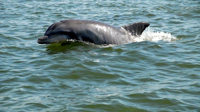 flussdelfin