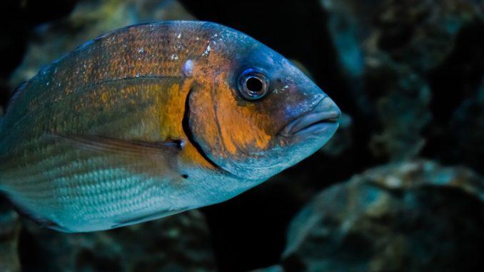 Fischart: Güster