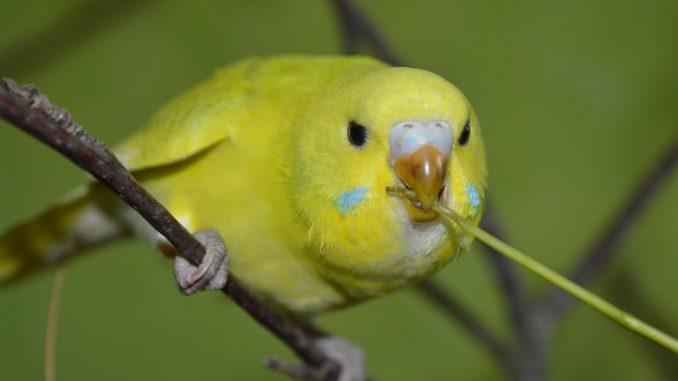 Gelber Wellensittich sitzt auf einem Ast und nimmt Nahrung auf