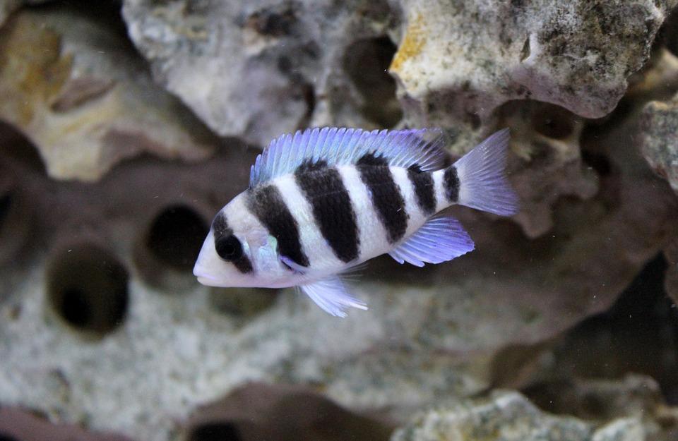 frontosa-fisch