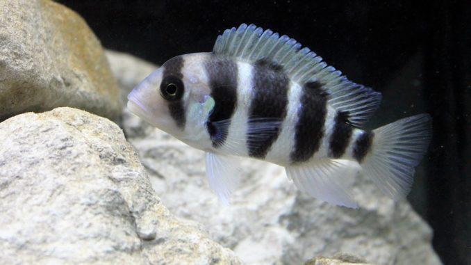 frontosa-in-aquarium