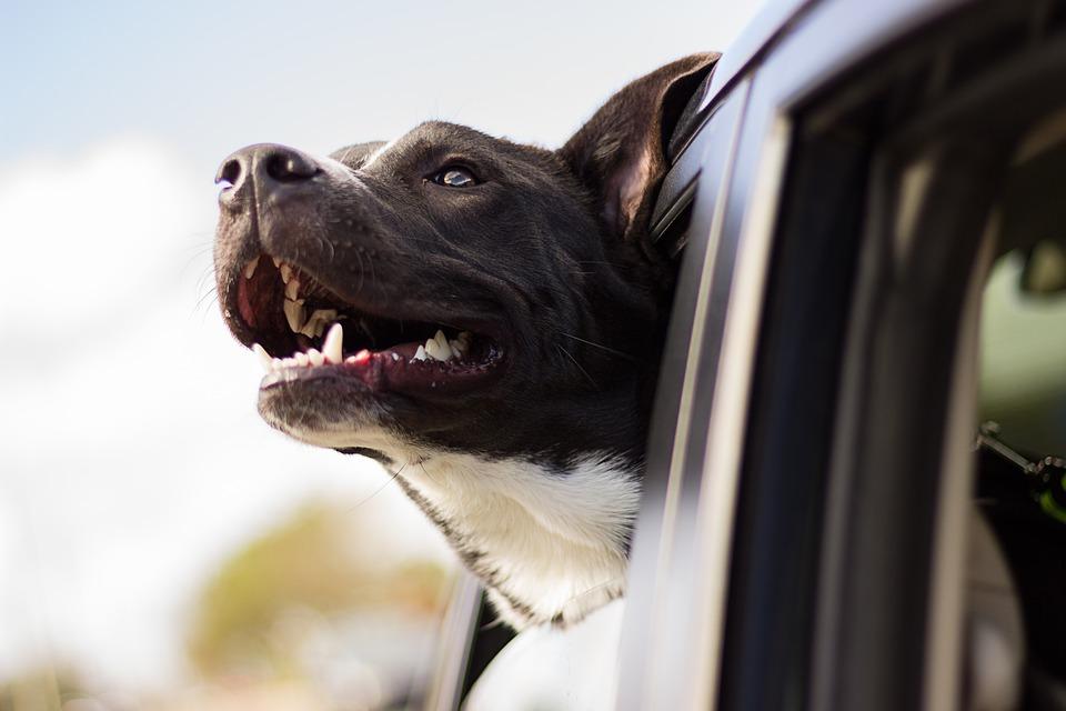 hund-im-auto