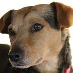 Ohrenreiniger für hunde sollten bei HUnden mit Schlappohren regelmaessig angewendet werden