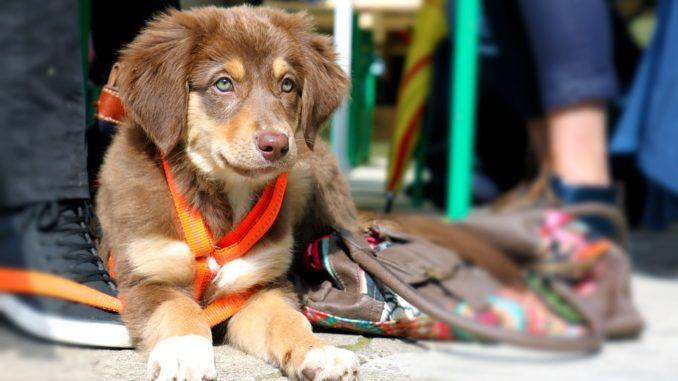 hundewelpen-mit-leine