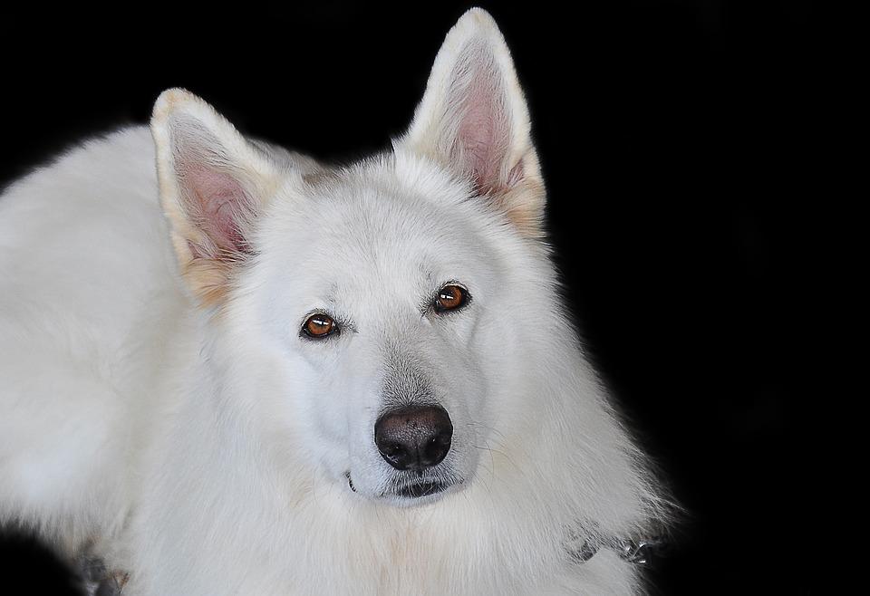 kanadischer-schaeferhund