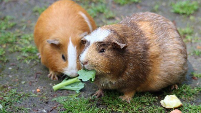 meerschweinchen-fuettern