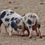 mini-zwergschweine-toben