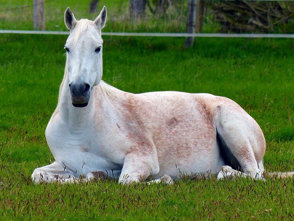 pferd-liegen-beibringen