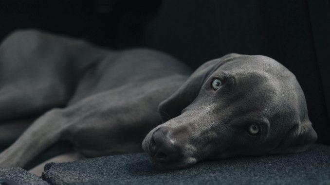 Grauer Hund liegt auf dem Boden und benöigt kein Teletakthalsband Halsband.