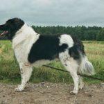 Karakatschan_bulgarischer_hirtenhund