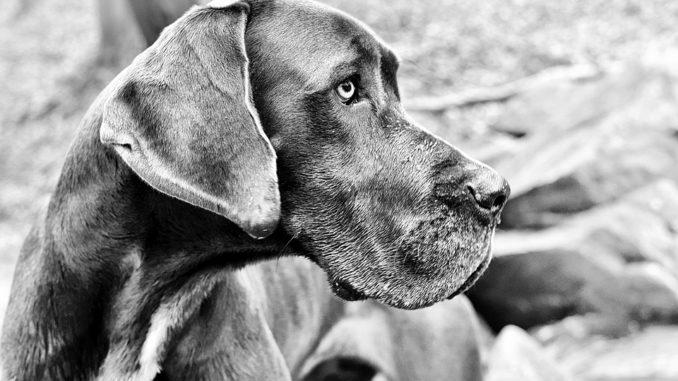 Sprayhalsband fuer Hunde bei einer Dogge