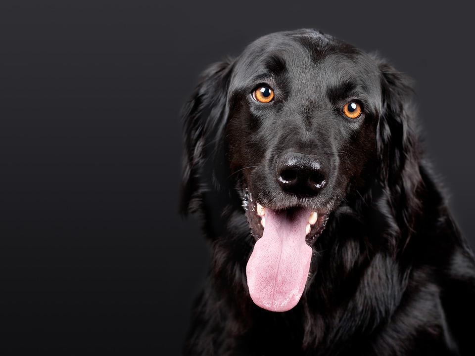 Sprayhalsband bei einem schwarzen Hund