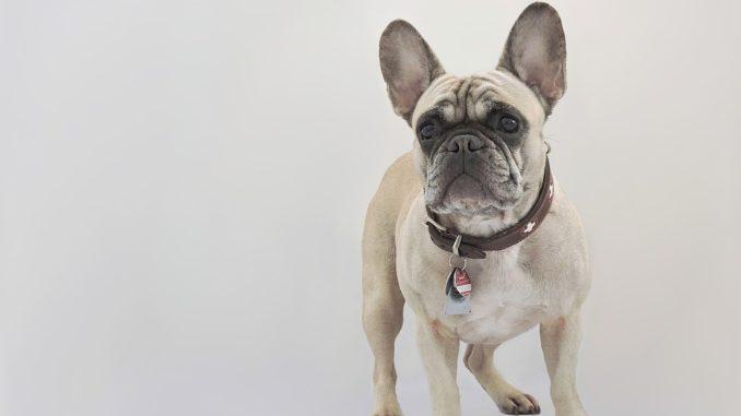 Sprayhalsband kleiner Hund