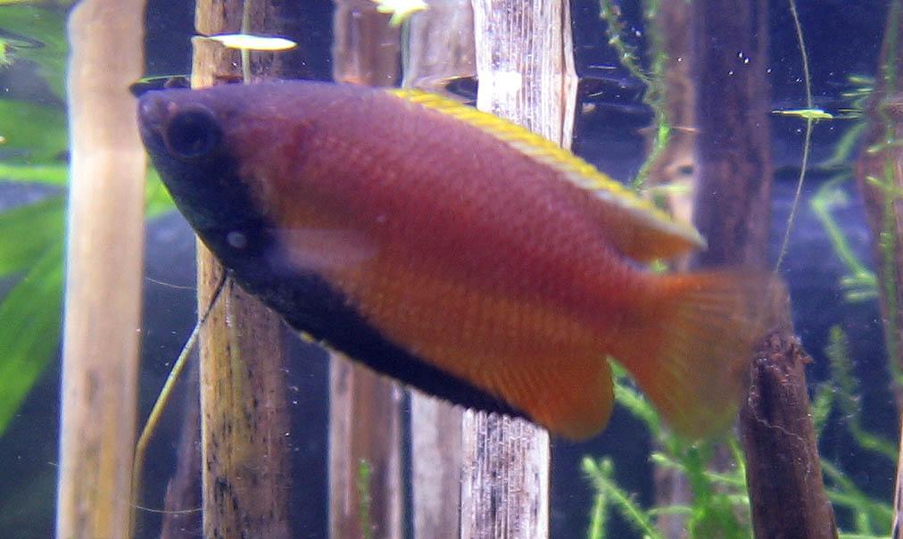 honig-gurami-fisch von der seite
