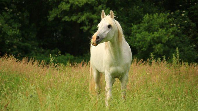 pferde koennen mit leinoel behandelt werden